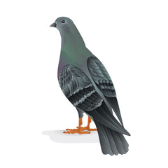 Bird Carrier pigeon domestic breed  vector illustration