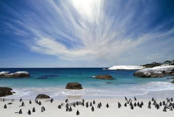 The penguins at Boulder's beach
