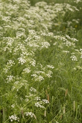 Floral Background. An image of tall grass interlaced with Queen Anne's Lace that has been allowed to grow tall and wild. A short depth of field gives lots of space for copy.