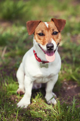 Jack Russell terrier puppy in green park