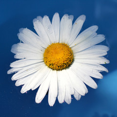 daisy on the water/ chamomile flower floating on the water surface top view