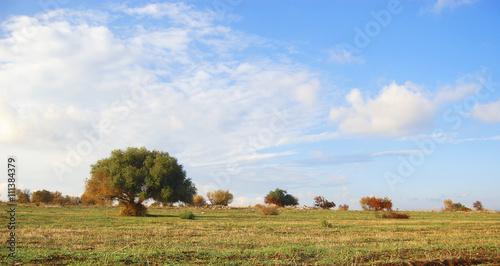 Pascolo albero di ulivo immagini e fotografie royalty for Albero ulivo vettoriale