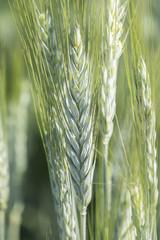 Unripe wheat ears, green field