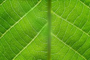 Wall Mural - Leaf macro pattern of green. Background.