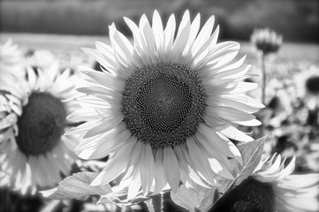 Close up of a sunflower in a field