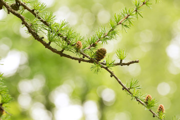 Larch twig with cone