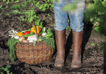 fresh organic vegetables into the old basket and feet in rubber