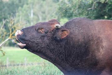 Ein Bulle auf einer Weide in NRW