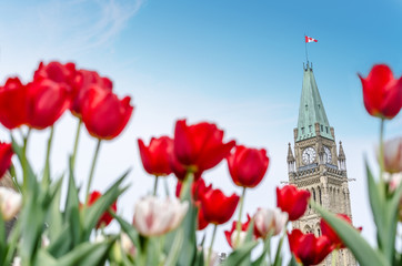 Peace Tower of Parliament building at Ottawa during Ottawa Tulip festival.