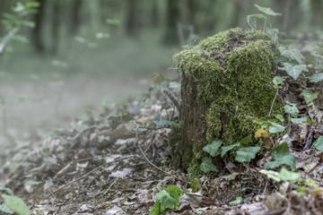 Wald Nebeldunst