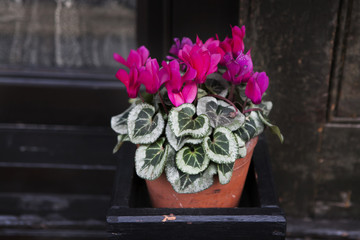 purple blooming cyclamen near old black wall near shop as a decoration of shop