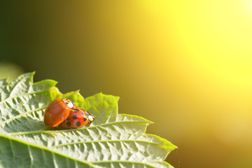 pair of beetles copulate Ladybugs on a green leaf in the golden rays of the setting sun. the concept of sex, love, relationships