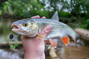 Creek chub in hand with fishing lure in mouth
