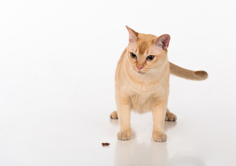 Bright Brown Burmese cat with food. Isolated on white background