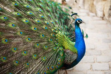 Beautiful peacock displaying his plumage