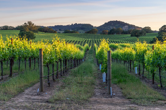 Sunset in the vineyards of Sonoma county, California