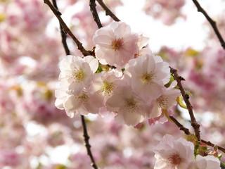 柔らかい雰囲気の桜