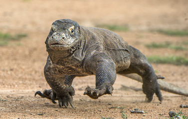 Attack of a Komodo dragon. The dragon running on sand. The Running Komodo dragon ( Varanus komodoensis ) .