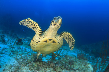 Hawksbill Sea Turtle lifts off from coral reef