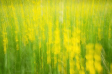 Defocused flowers and grass for background. Blurred and de focused fresh yellow blossom and green stalks