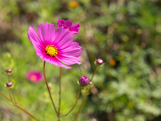 cosmos flower in closeup and green background