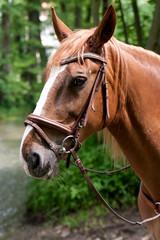 Pferdekopf Portrait eines braunen Pferdes mit Geschirr mit Blick in die Kamera