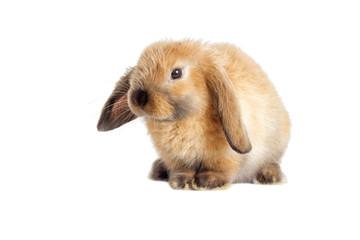 rabbit lop-eared