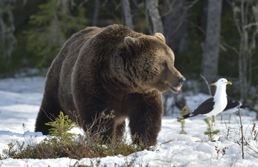Brown Bear (Ursus arctos) in spring forest.
