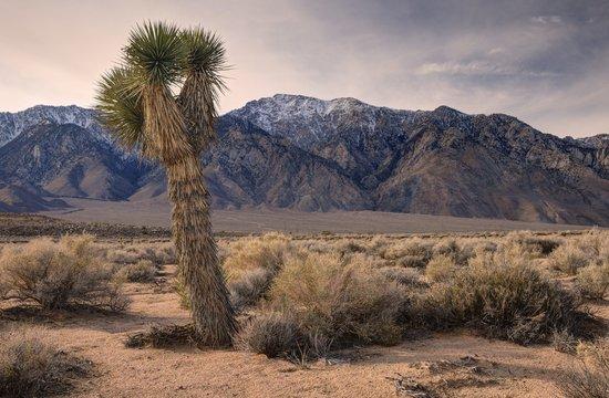 Joshua Tree and Olancha Peak, Inyo National Forest, California, America, USA