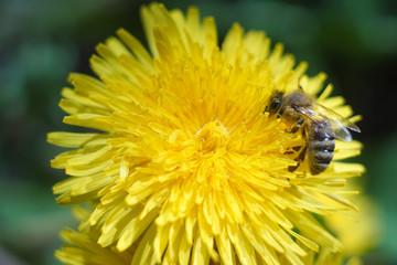 Seeds of dandelion, dandelion