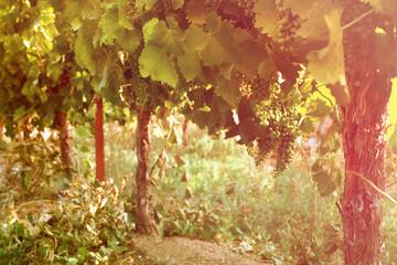 Vineyard landscape. vintage filtered image.