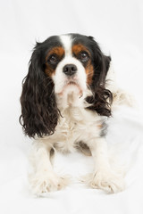Cavalier King Charles dog, sitting in front of white background