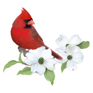 Northern Cardinal perched on a blooming White Dogwood.Hand drawn vector illustration on transparent background, realistic representation.