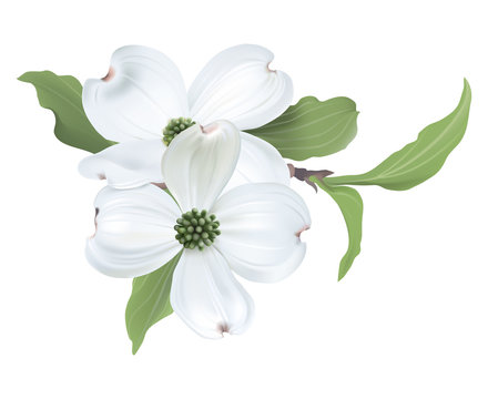 White Dogwood (Cornus florida) Hand drawn vector illustration of blooming dogwood on transparent background.