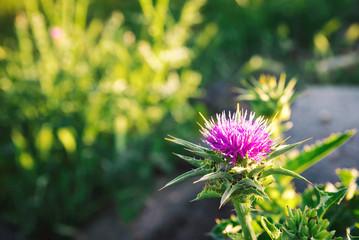 Cotton thistle flower close-up photo