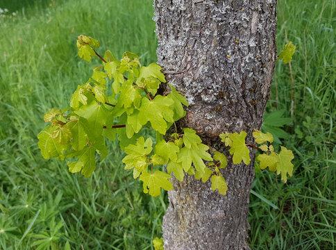 Feldahorn, Acer campestre, Ahornsproessling