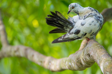 Motley Dove sitting  on a branch on a blur background. White-gray pigeon close-up. Dove in the expanded head