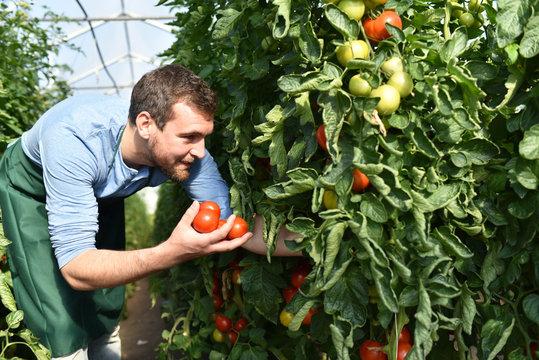 Ernte von Tomaten im Gewächshaus eines Bauernhofes - regionale Gemüseproduktion
