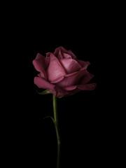 Single rose against black background