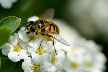 Wespenfliege