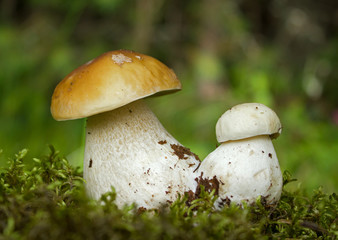 Two young Penny bun mushrooms on the moss
