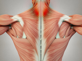 Human anatomy torso back muscles, pain in neck area. 3D Illustration.