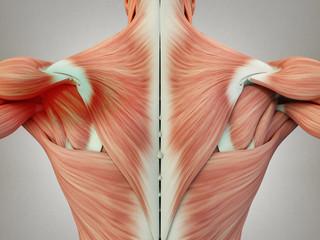 Human anatomy torso back muscles, pain left shoulder area. 3D Illustration.