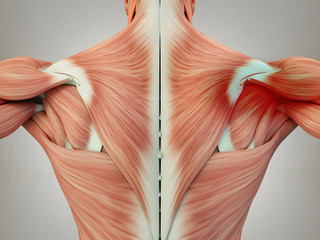 Human anatomy torso back muscles, pain right shoulder area. 3D Illustration.