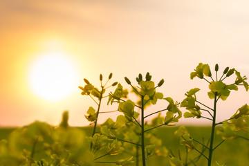 The sun is setting over a field of oilseed rape. Masuria, Poland.