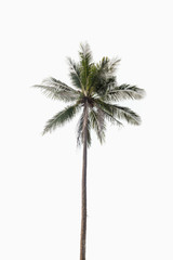 Coconut palm tree on isolated white background.