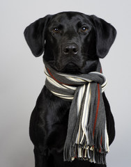 Studio Portrait of a Black Labrador Retriever wearing a striped knit scarf