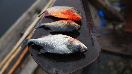 Fishing in Amazonas, Brazil - Piranha Caju (Pygocentrus natterery)