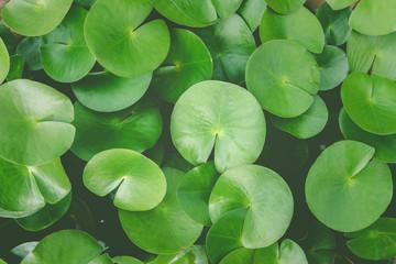 Garden Poster Lotus flower Green lotus leaves, water lily leaves, Dark Green leaves texture