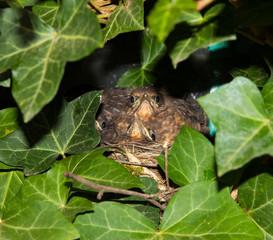 Two nestlings of an eurasian blackbird.